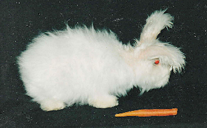 Angora Rabbit - Silky