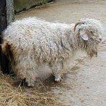 mohair goat