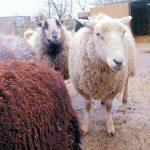 Mudchute farm animals